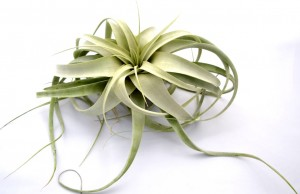 Tillandsia XEROGRAPHICA Mini 10-15 cm