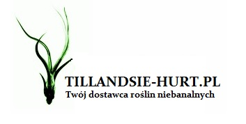 TILLANDSIE HURT